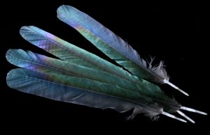 magpie-feathers-1